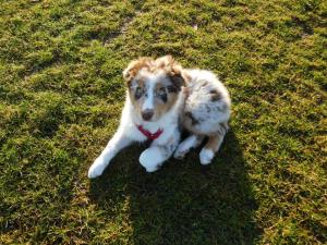 Aussie pup 2
