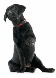 Black Lab Puppy DogNostics